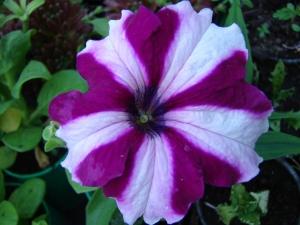 Петунии фото цветов